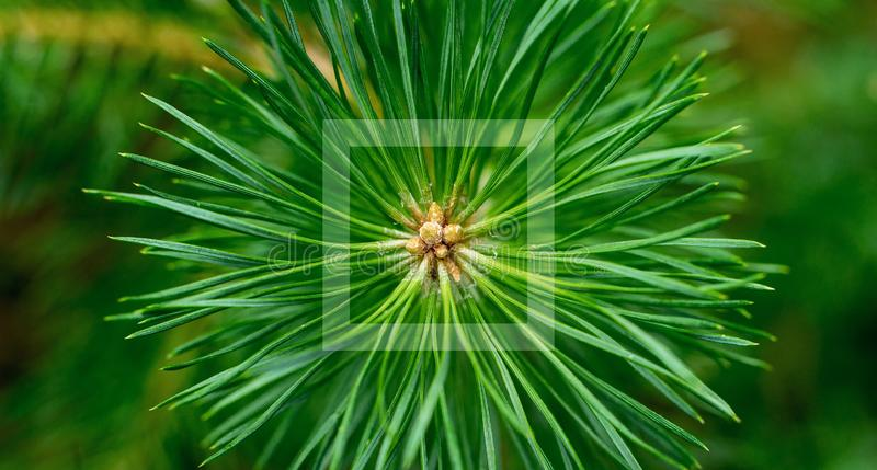 Pine needles diverge from the center. Green sprig of pine. Belarusian forest. stock image