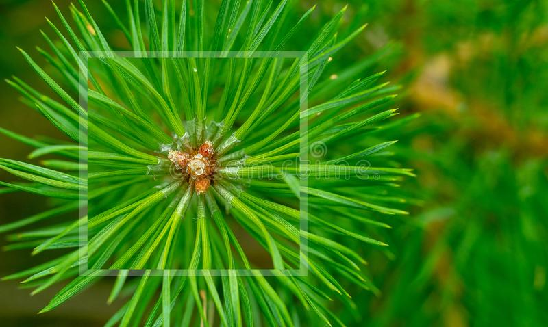 Pine needles diverge from the center. Green sprig of pine. Belarusian forest. royalty free stock image