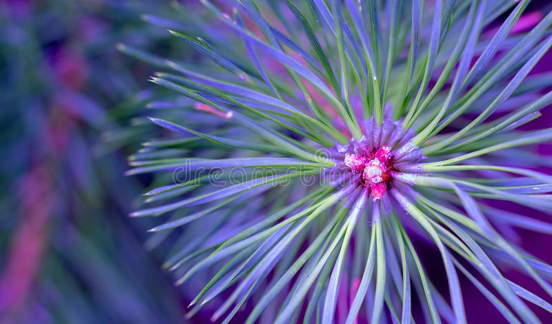 Pine needles diverge from the center. Green sprig of pine. Belarusian forest. stock photo