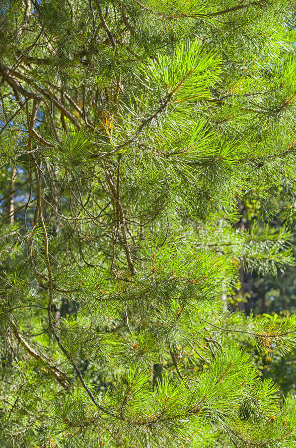 Pine needles stock image