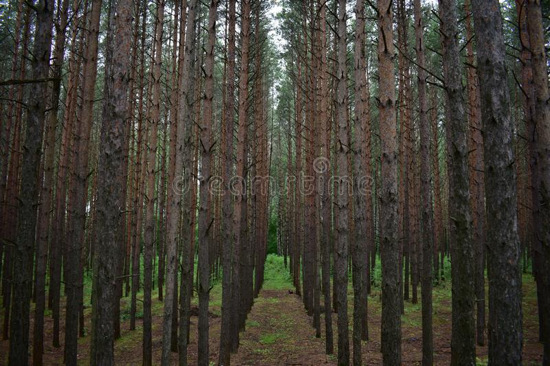 Pine is an ordinary light-loving breed, it tolerates a lack and excess of moisture in the soil, is undemanding to mineral nutritio. N. A characteristic feature royalty free stock photo