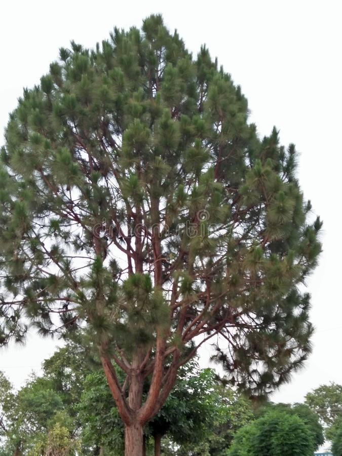 PINE /PINE LODGEPOLE. A PINE IS A CONIFEROUS TREE IN THE GENUS PINUS,THE FAMILY; PINACEAE, THERE ARE . PINE IS A EVERGREEN RESINOUS TREE RARELY SHRUB .THE royalty free stock photos