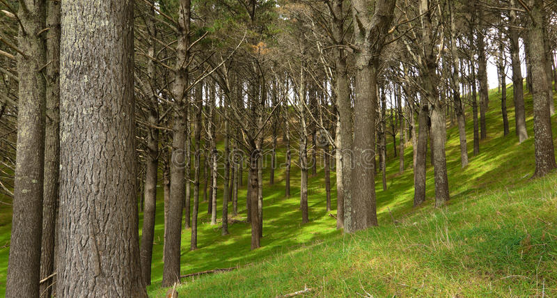 Download Pine Plantation stock image. Image of spring, auckland - 16430159
