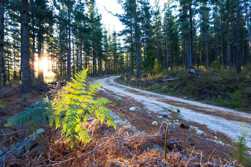 Pine plantation road. Dirt road through a pine plantation with the setting rising sun through the fir trees stock images