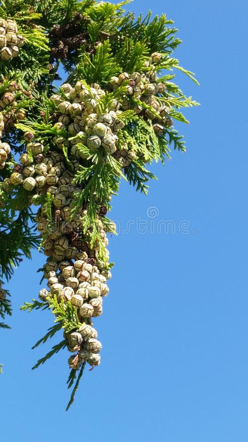 Pine And Pods. Green Natural stock photos