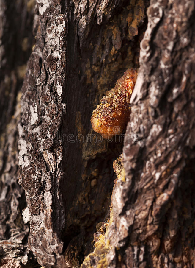 Pine resin lit by late sunlight stock images