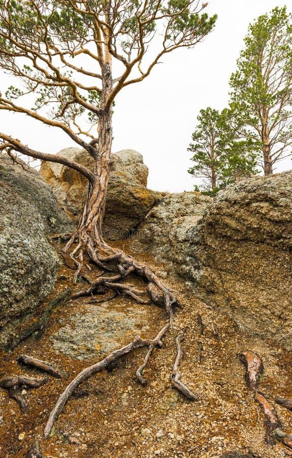 Pine rotas på backen arkivfoto