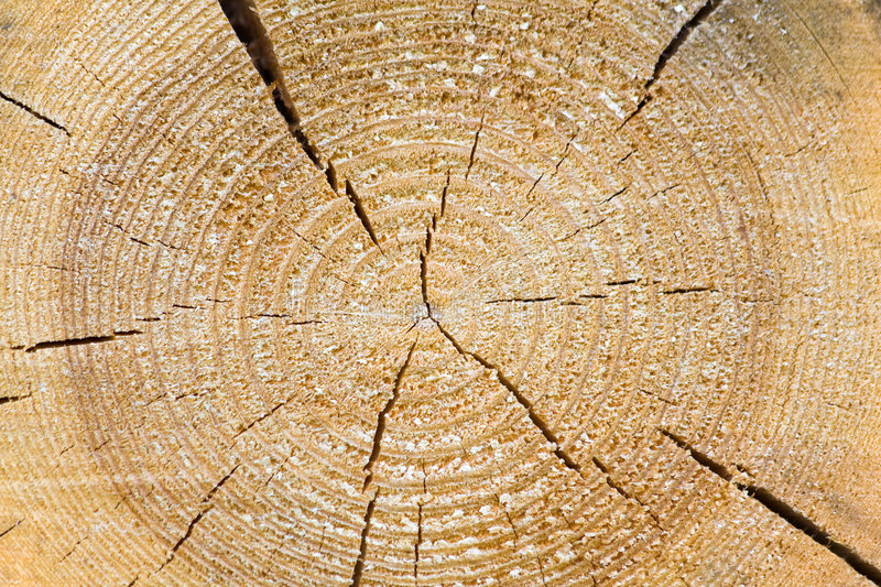 Pine Sawn End Texture Stock Image