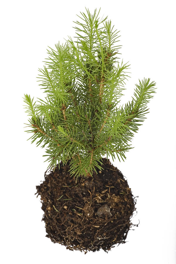 Pine seedling royalty free stock photography