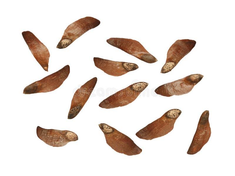 Pine seedlings isolated stock photography