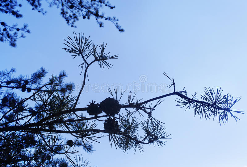 Pine Silhouette Royalty Free Stock Photo