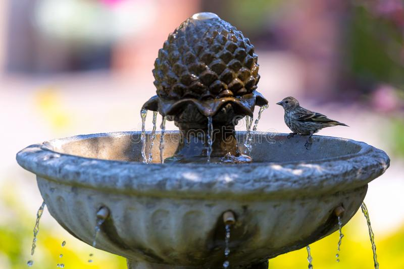 Pine Siskin bird perched on Water Fountain. Pine Siskin bird perched on backyard garden water fountain on a sunny day stock photography