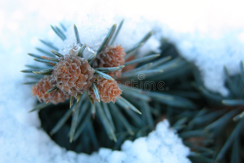 Download Pine in Snow stock photo. Image of green, needles, christmas - 42878