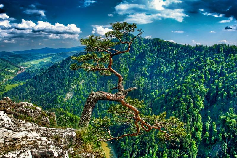 Famous pine on Sokolica peak and Dunajec river in southern Poland. Pine on Sokolica mountain. View on Pieniny and Gorce mountain range in beskids in Poland royalty free stock images