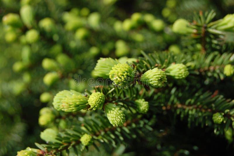 Pine Spring stock photo
