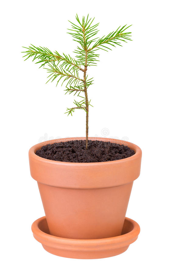 Pine sprout growing in a flower pot stock images