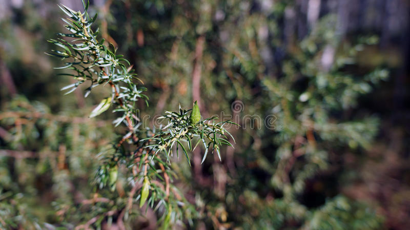 Pine and spruce royalty free stock photography