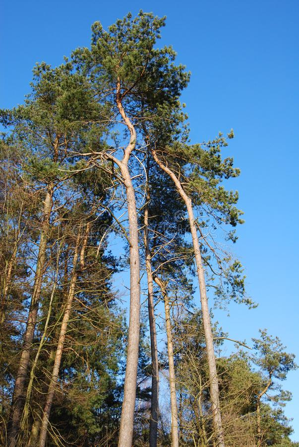Pine and spruce trees with a blue sky on a sunny day. Long and tall trees in the forest stock photo