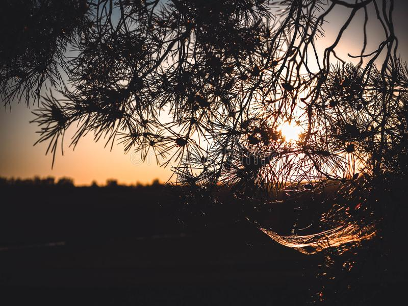 Pine strip in the rays of the village sunset stock photography