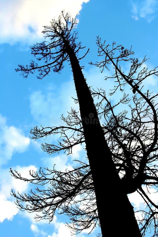 pine sylwetki wysokie drzewa fotografia royalty free