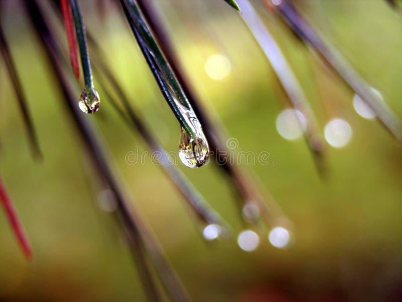 Pine tears royalty free stock photo