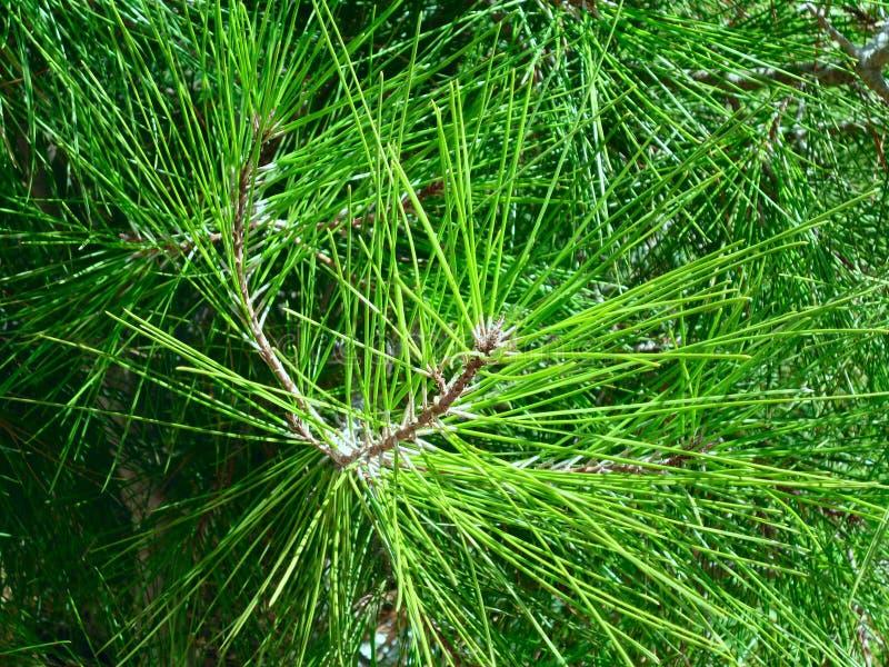 Pine texture stock photo