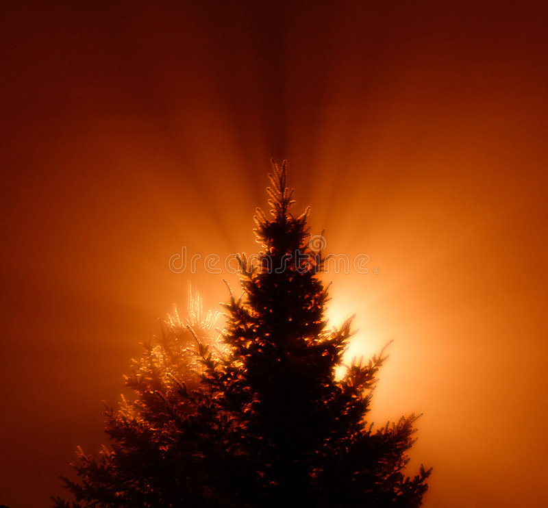 Pine tree. With light in the background creating volume light effect royalty free stock photo