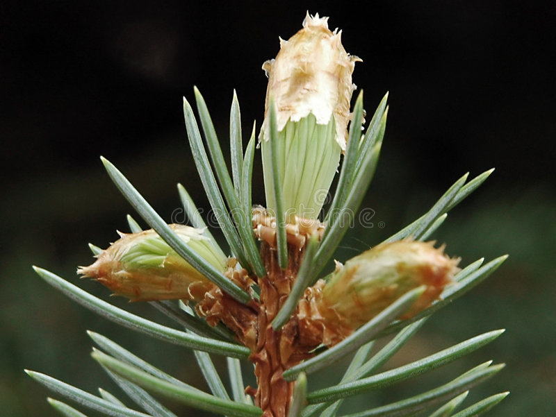 Download Pine Tree Royalty Free Stock Photography - Image: 4227