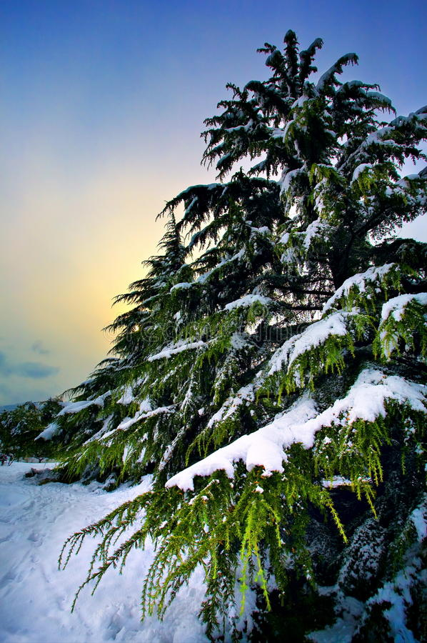 Download Pine tree stock image. Image of bough, isolated, wintery - 11675717