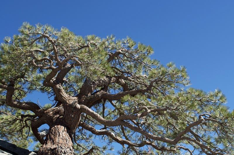 Pine Tree royalty free stock image