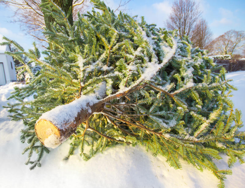 Download Pine Tree stock photo. Image of evergreen, curb, removal - 17985428