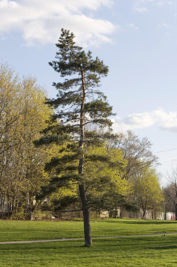 Download Pine Tree. Different From The Rest Stock Image - Image: 19697481