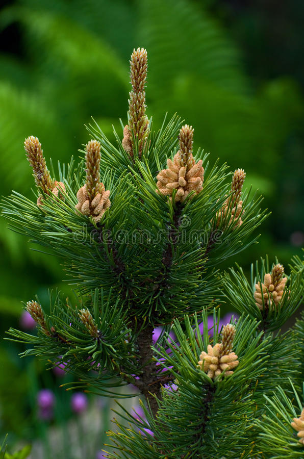 Download Pine Tree Stock Images - Image: 19838494