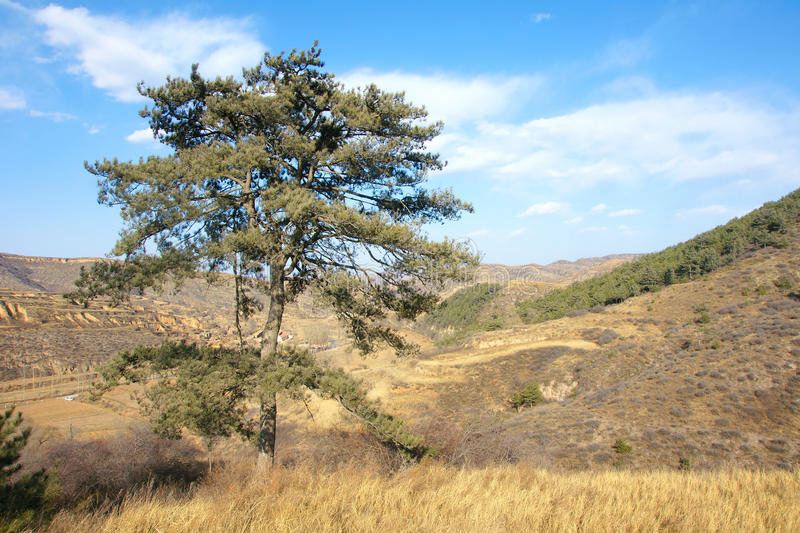 Download Pine tree stock photo. Image of mountain, landscape, scenery - 23999212