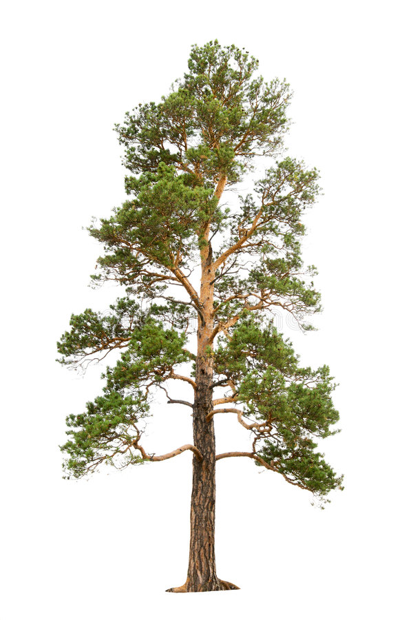 Pine tree royalty free stock images