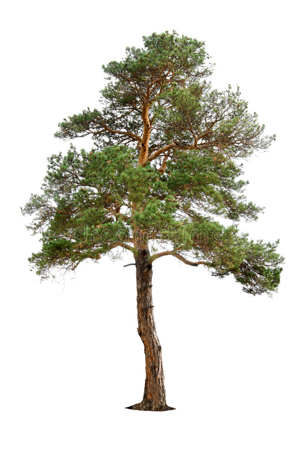Free Pine Tree Stock Image - 7640981