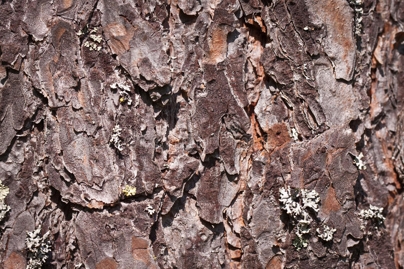 Download Pine tree bark stock photo. Image of detailed, conifer - 24555604