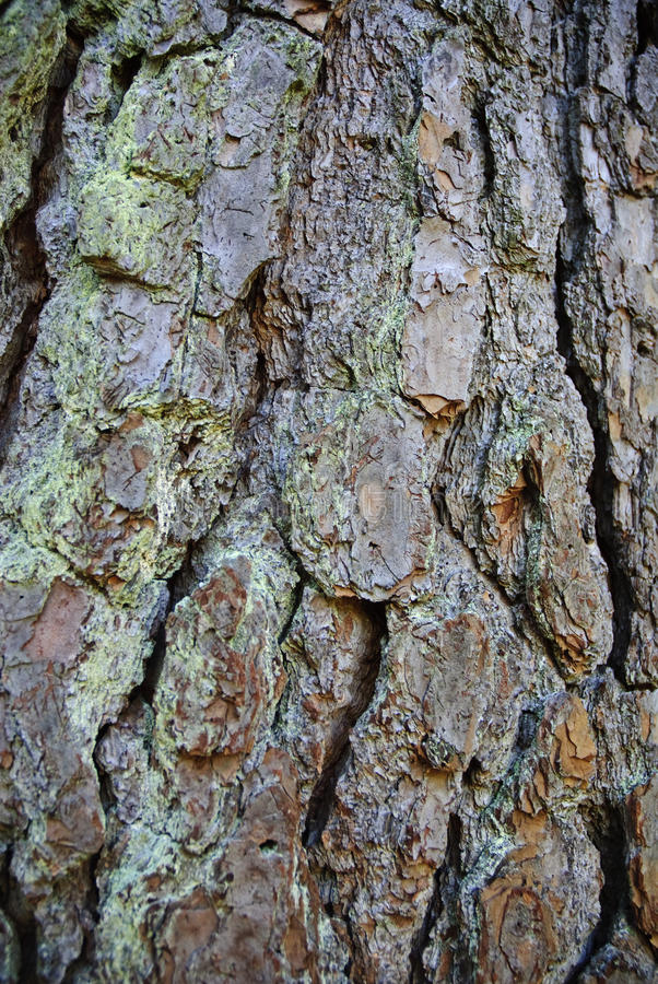 Pine Tree Bark royalty free stock images