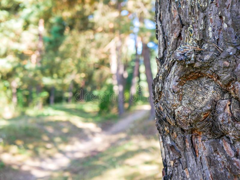 Pine tree bark  pinus sylvestris close up shot near small forest path. Shallow depth of field, space for text royalty free stock images