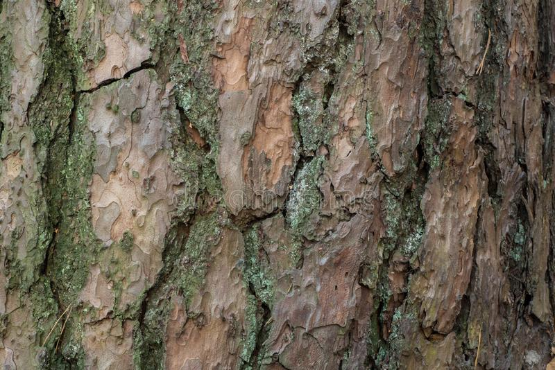 Pine tree bark texture background royalty free stock images