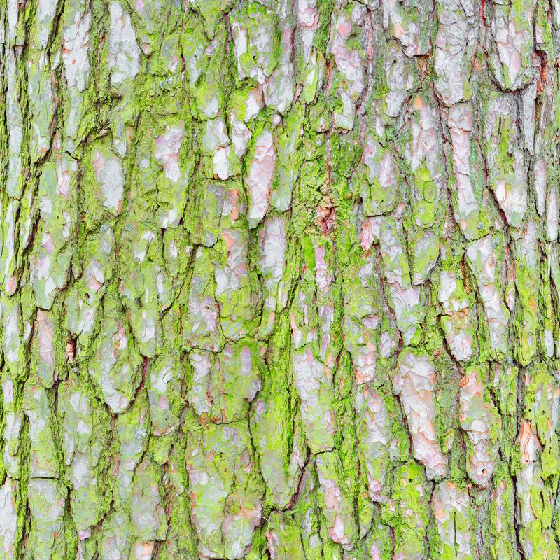 Pine tree bark texture. royalty free stock images