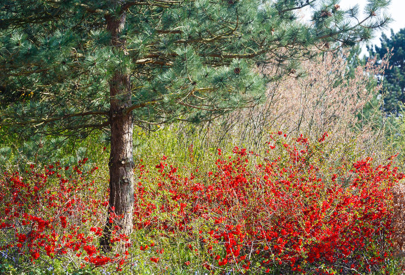 Pine tree and blossoming bush in spring park. Pine tree and blossoming Japanese Quince bush with red flowers in spring park stock images