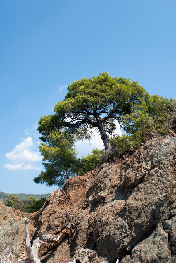 Download Pine tree on blue sky stock photo. Image of wild, hill - 25233424