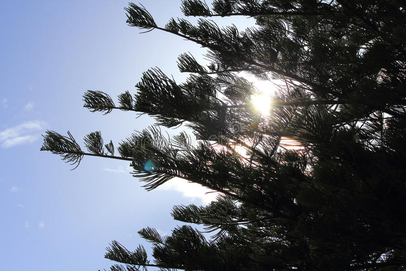Pine tree. And blue sky royalty free stock photo