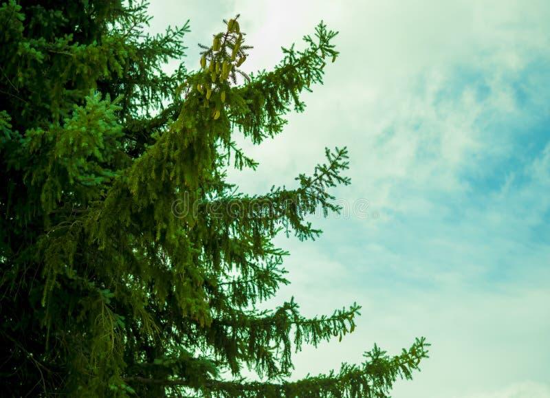 Pine tree with a blue sky stock photos