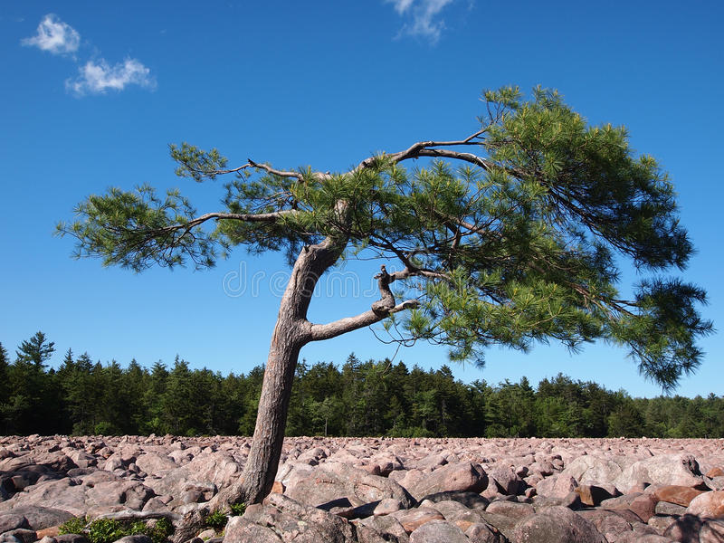 Download Pine Tree in Boulder Field stock photo. Image of blue - 32372376