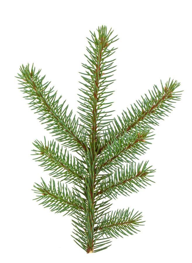 Download Pine tree branch stock image. Image of season, traditional - 16784377