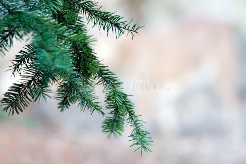 Pine tree branch royalty free stock image