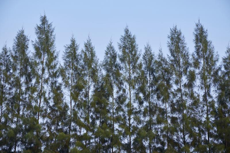 Pine tree branch with blue sky royalty free stock photo