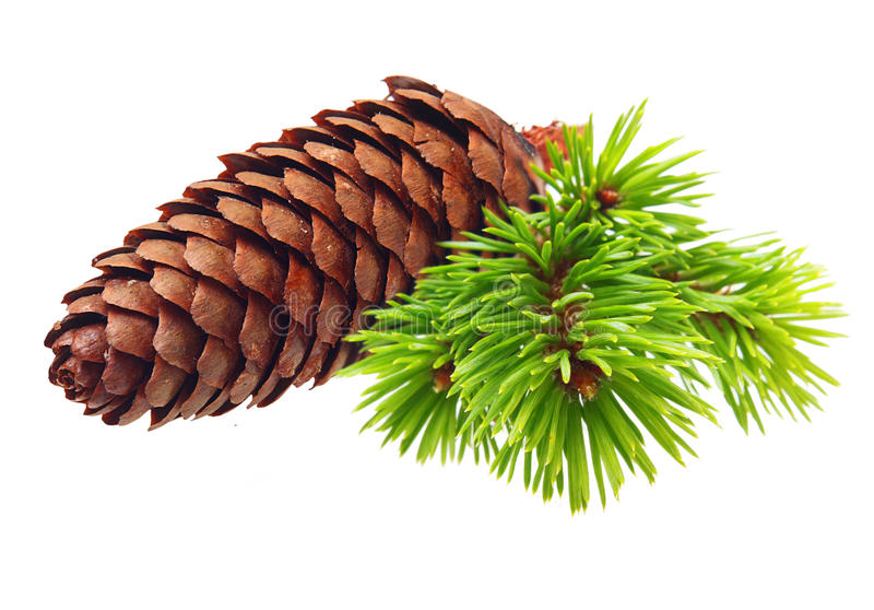 Download Pine tree branch with cone stock photo. Image of isolated - 32900594